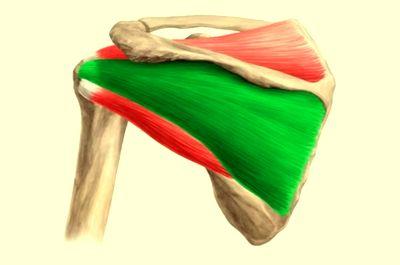 Боль в подостной мышце: лечение блокадой
