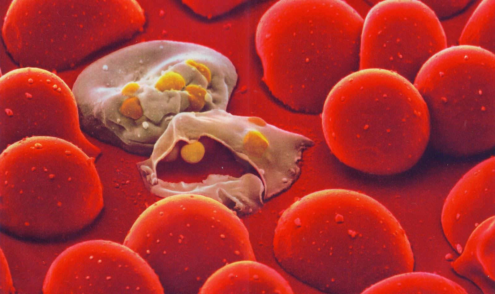 цикл развития малярийного плазмодия схема