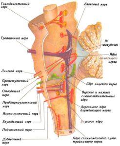 Топография (расположение) черепных нервов в стволе головного мозга