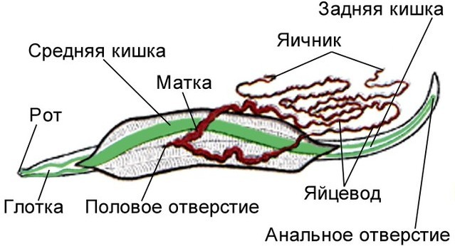 Размножение глистов