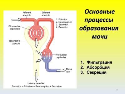 Процесс мочеобразования
