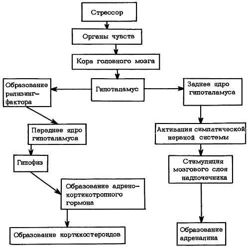 Реакция организма на стресс (схема)