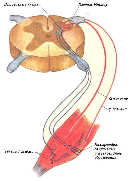 Схема взаимодействия мотонейронов пирамидного пути с мышечными рецепторами