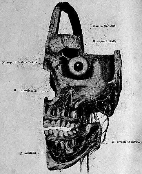 Схема анатомии тройничного нерва - n. frontalis