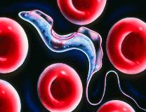Трипаносома: жизненный цикл, систематика, особенности, диагностика, профилактика болезней
