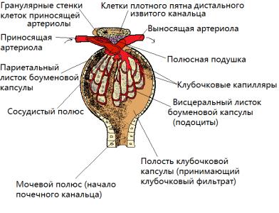 Структура клубочка