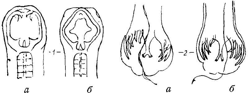 Головной и хвостовой концы анкилостомы и некатора