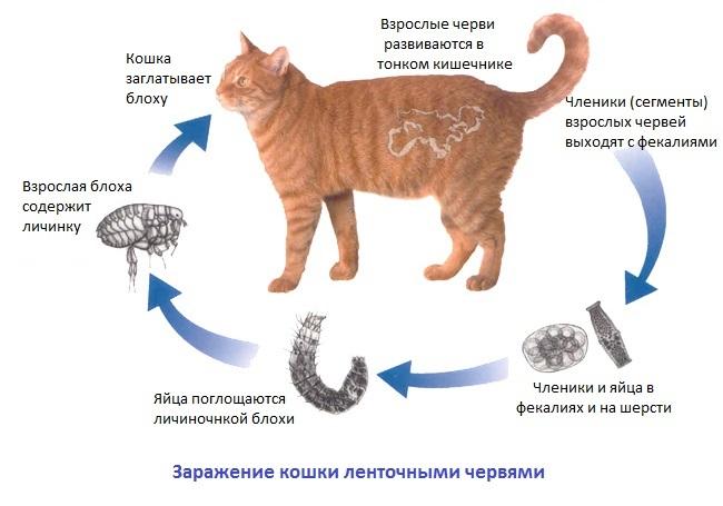 Гельминтозы у животных: собак, кошек и птиц