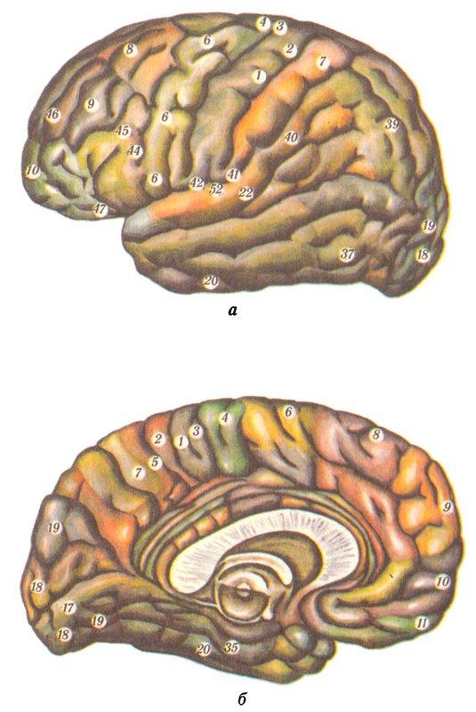 Поля коры головного мозга (по Бродману)