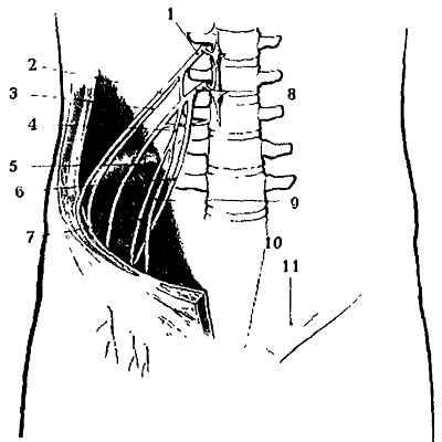 Нервы поясничной области