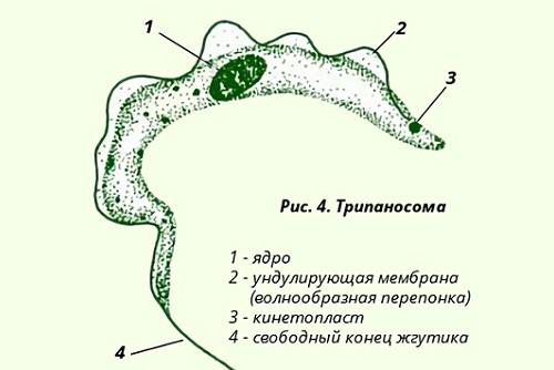 Строение и особенности размножения паразита