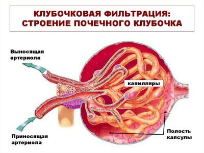 Микроскопическая анатомия почек