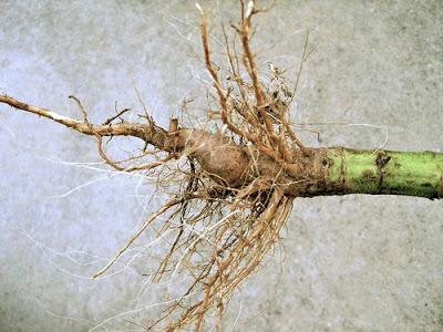 Самостоятельная заготовка корней