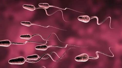 Сперматогенез при крипторхизме