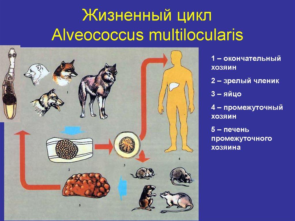 альвеококк цикл развития