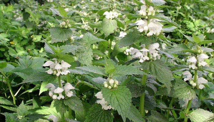 Трава эффективная против аллергии