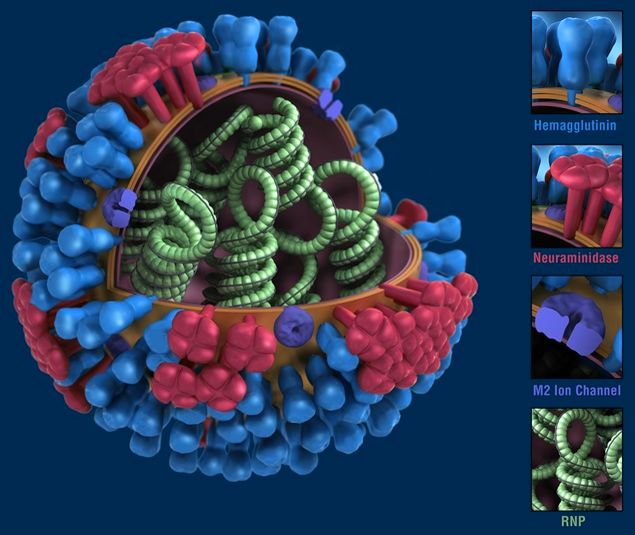 Вирус гриппа (фото)