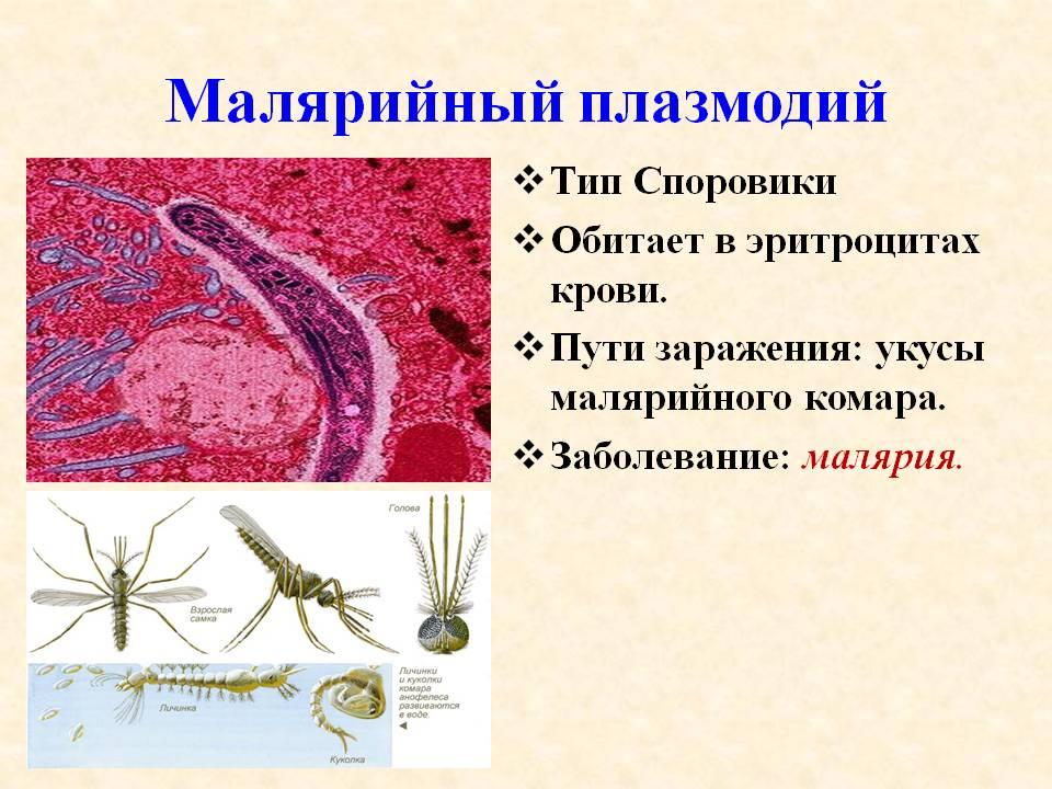 малярийный плазмодий фото под микроскопом