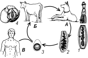 Жизненный цикл развития эхинококка