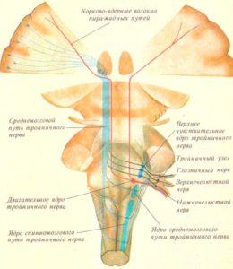 Ядра и центральные пути тройничного нерва